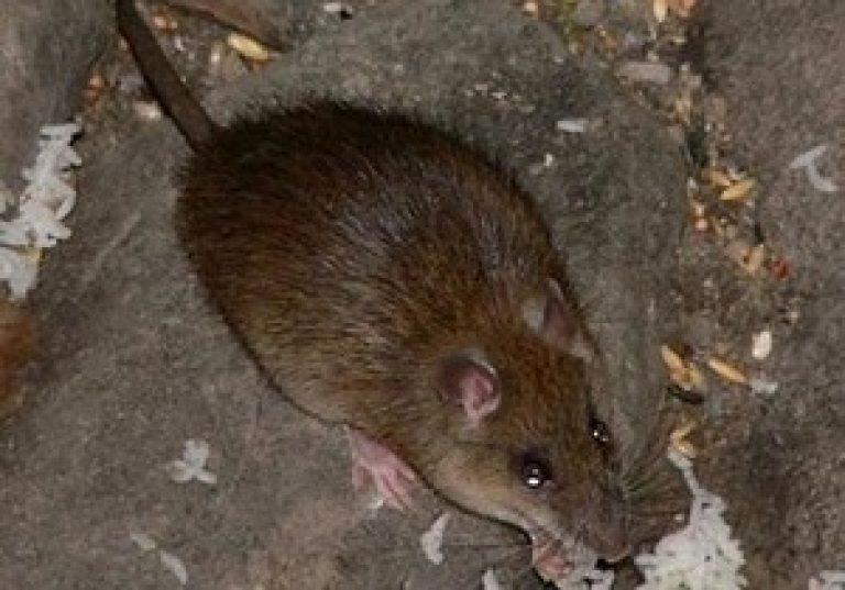 Чума-вечеринка: чем опасны крысы?
