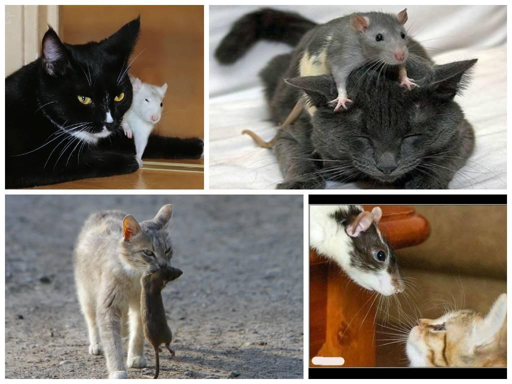 Как избавиться от крыс (методы)