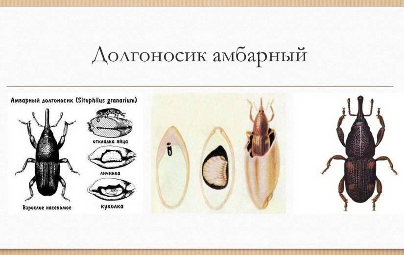 Долгоносик клубеньковый щетинистый