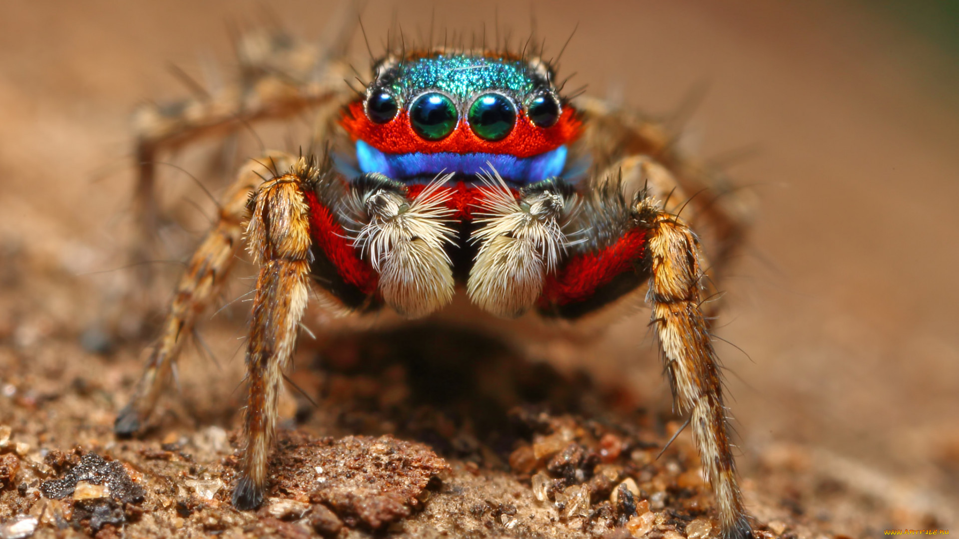 12 самых необычных пауков в мире – фото животные