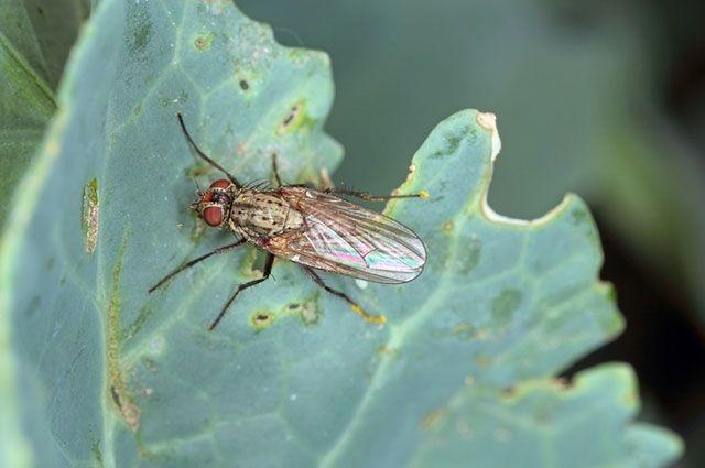 Капустная битва: как избавиться от совок и мух?