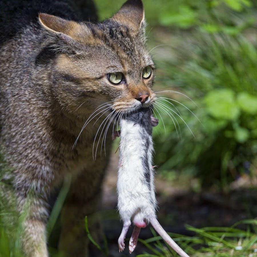 Кошка ест мышей: что делать?