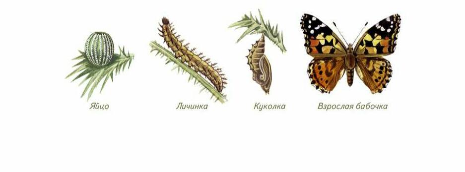 Стадия превращения гусеницы в бабочку