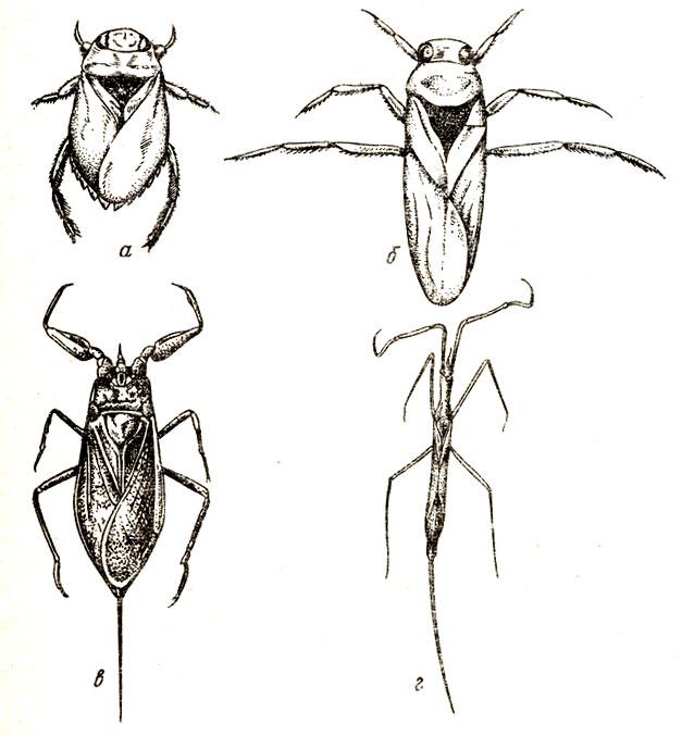◉ водяные клопы: гладыш, гребляк, плавт, водяной скорпион, чем питаются в природе, как передвигаются, опасен ли их укус для человека