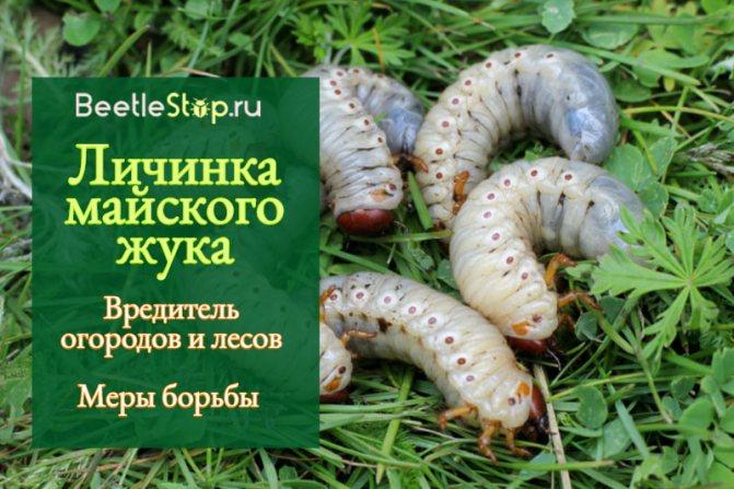 Личинки медведки и майского жука отличие фото
