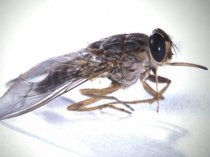 Муха цеце: фото, укус цеце, как выглядит муха цеце.