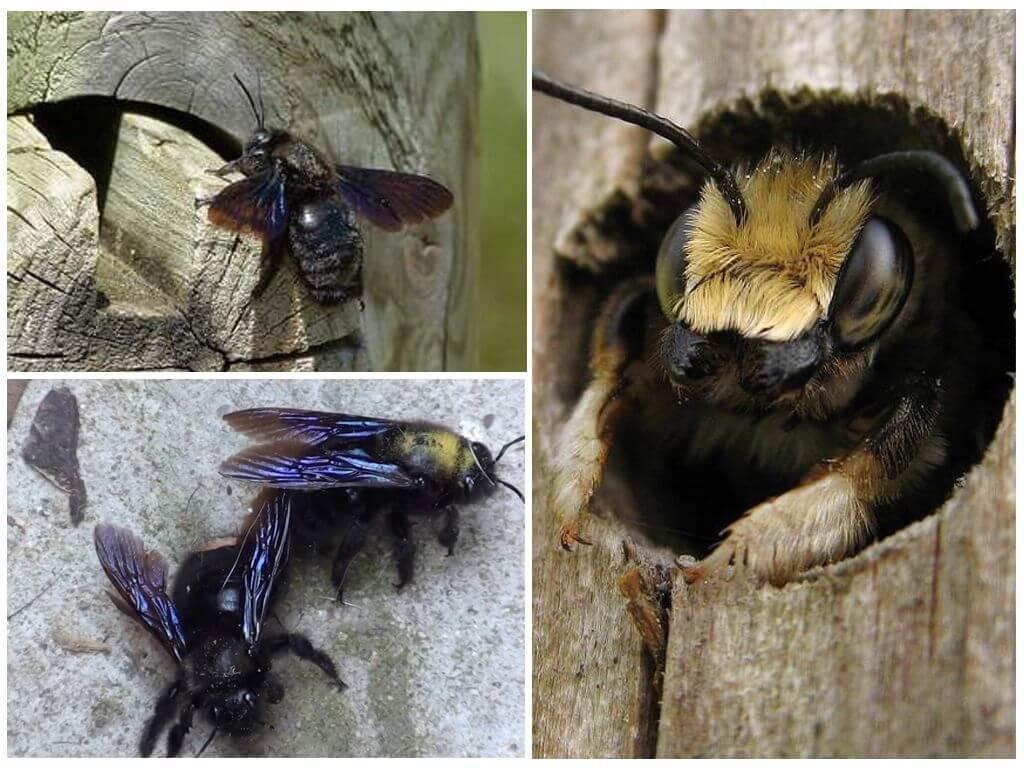 Пчела плотник: описание и особенности