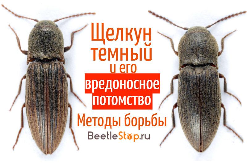 Проволочник (жук-щелкун): описание, как избавиться, эффективные методы борьбы