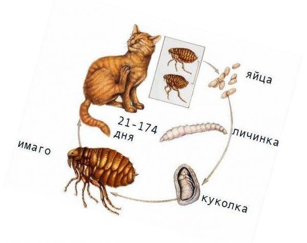 Как размножаются блохи у кошек в домашних условиях