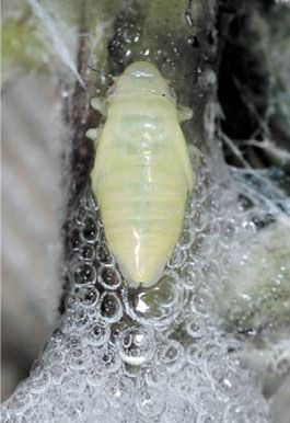 Пенница слюнявая – методы борьбы с вредителем