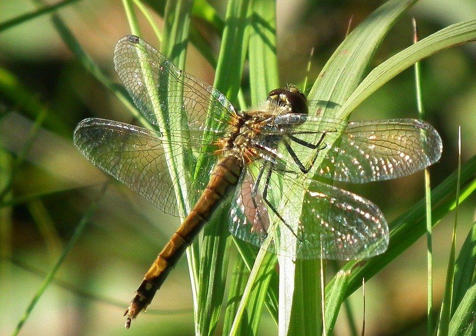 Стрекоза: 110 фото и видео полета красивого хищного насекомого