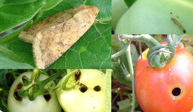 Совка на помидорах — методы борьбы препаратами и народными средствами