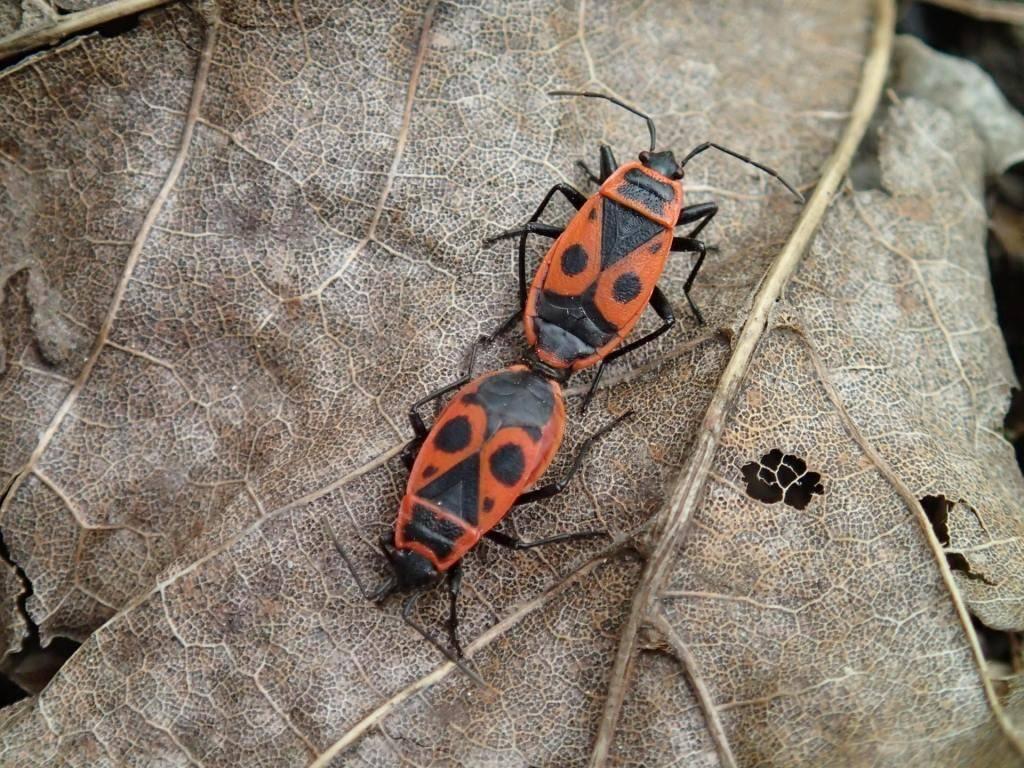 Жук-пожарник или мягкотелка красноногая - полезное насекомое