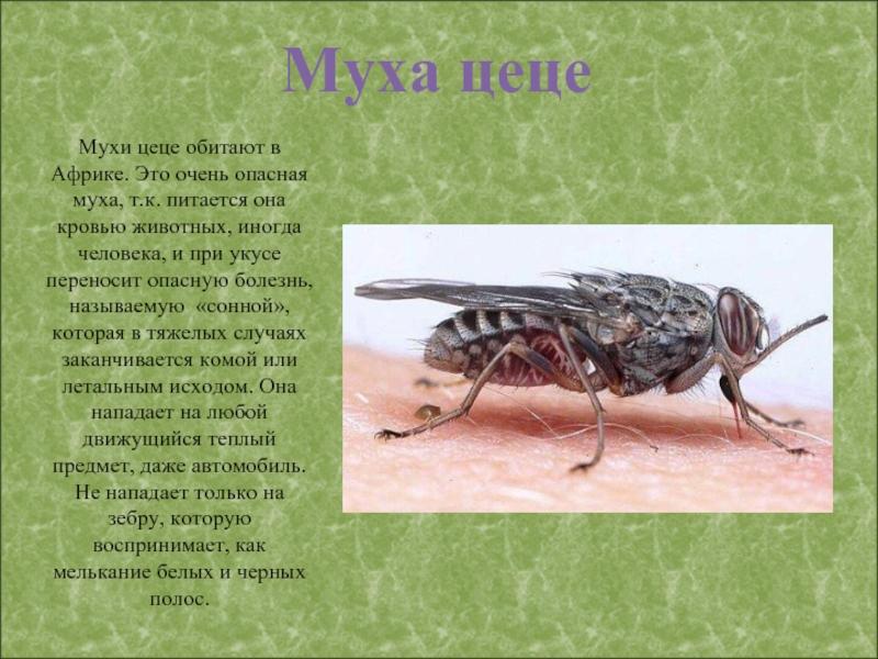 Муха цеце – враг людей и животных африки
