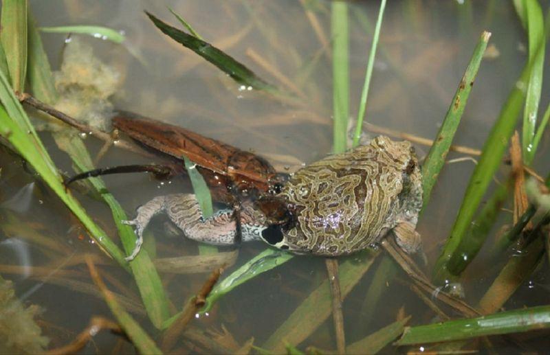 Водяной клоп: хищник, скрывающийся в водоемах. зачем в мире нужны водяные клопы? хищный водяной клоп: описание, фото