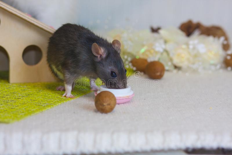 Едят ли крысы мышей? / как избавится от насекомых в квартире