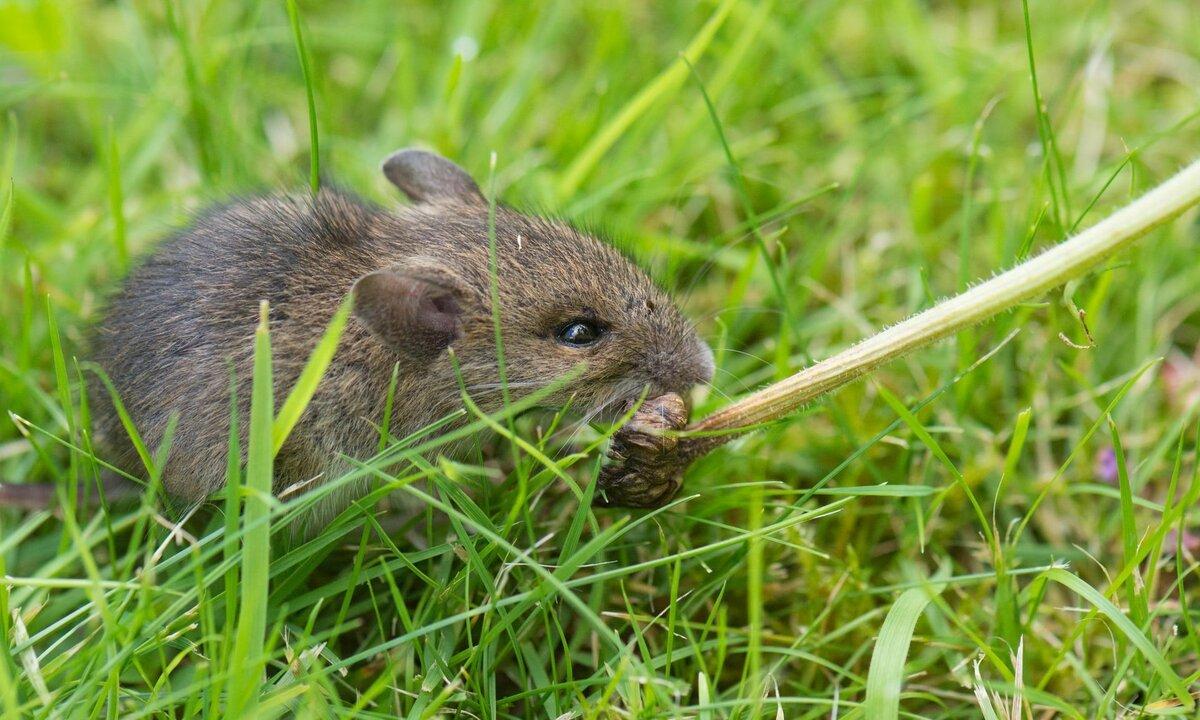 Питание домашних мышей
