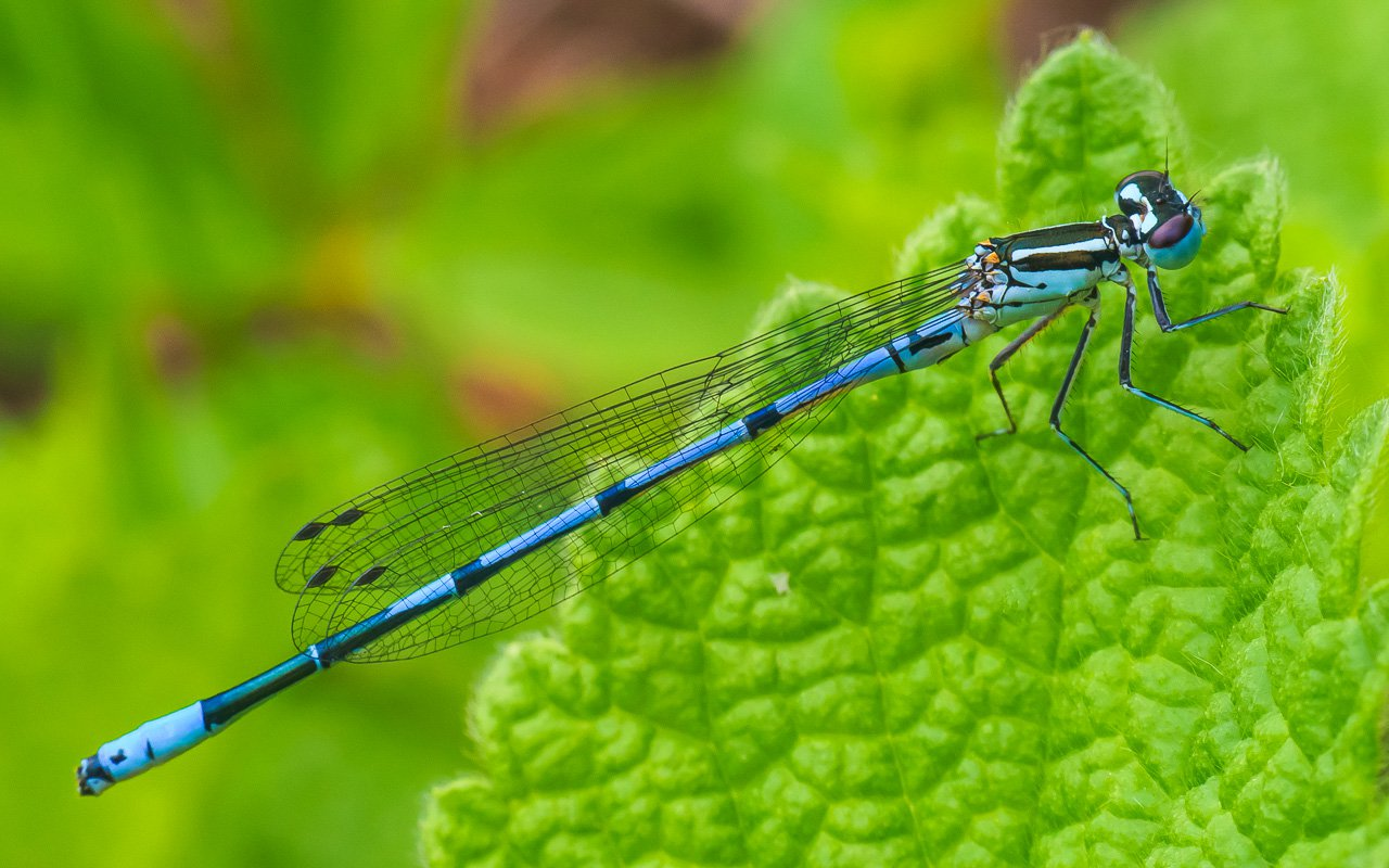 Стрекозы: фото и описание насекомых, виды стрекоз