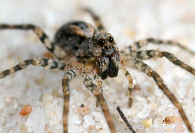 Самый ядовитый паук в мире: топ 10, фото, видео