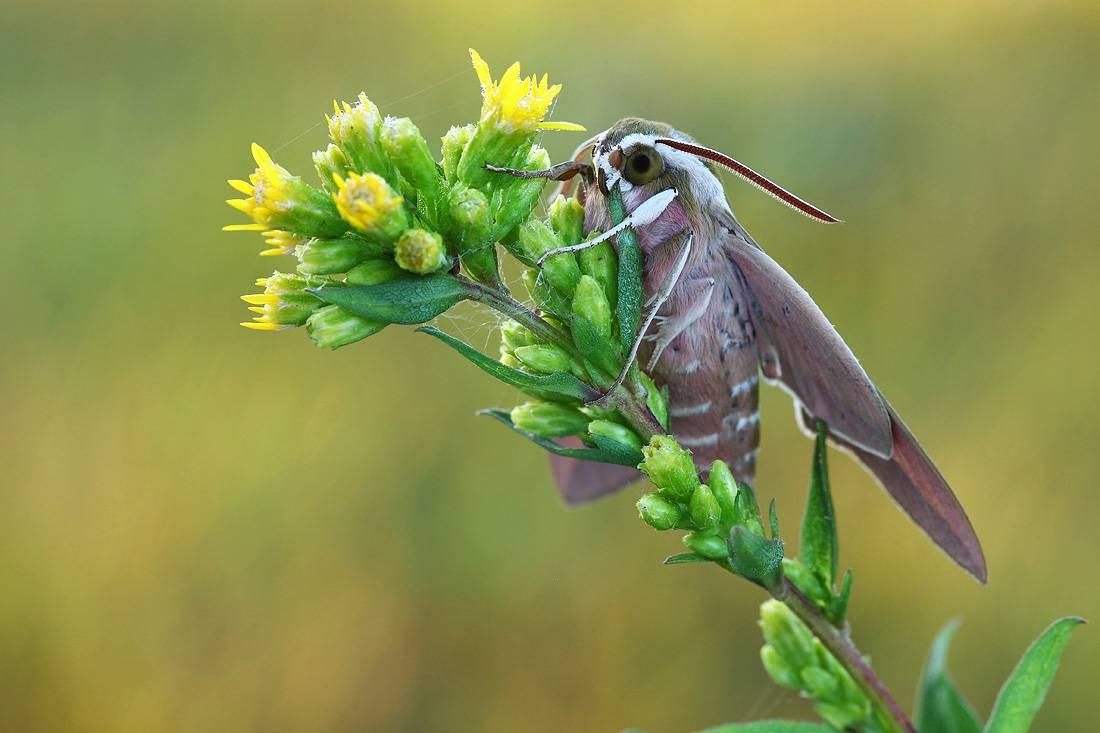 Бражник (бабочка): 115 фото необычного вымирающего насекомого и его особенности