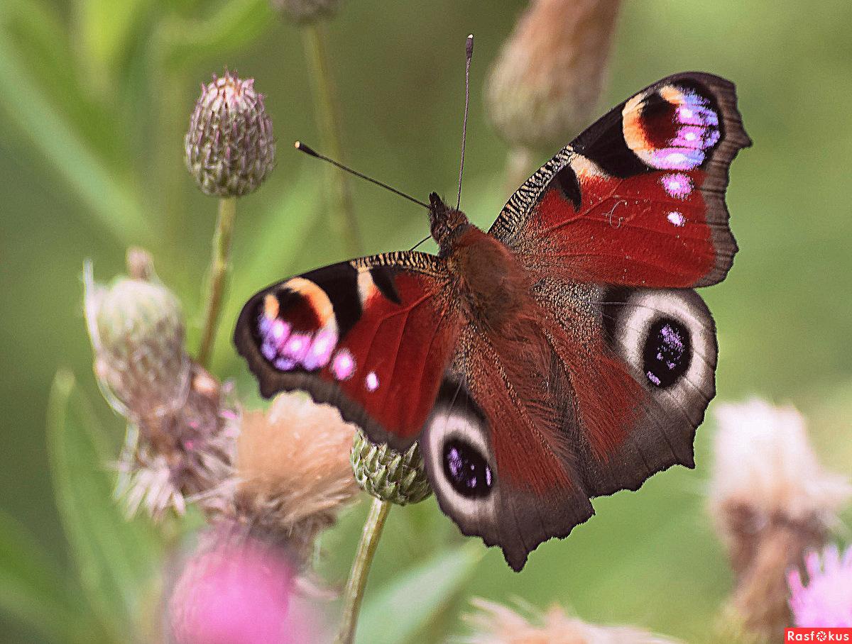 Павлиний глаз бабочка. образ жизни и среда обитания бабочки павлиний глаз | живность.ру
