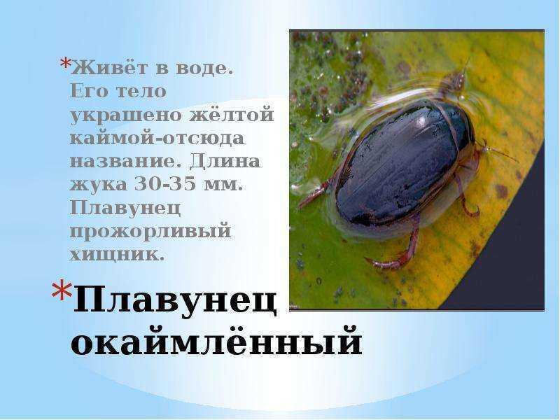 Чем кормить жука плавунца в домашних условиях - выращивание из семян!