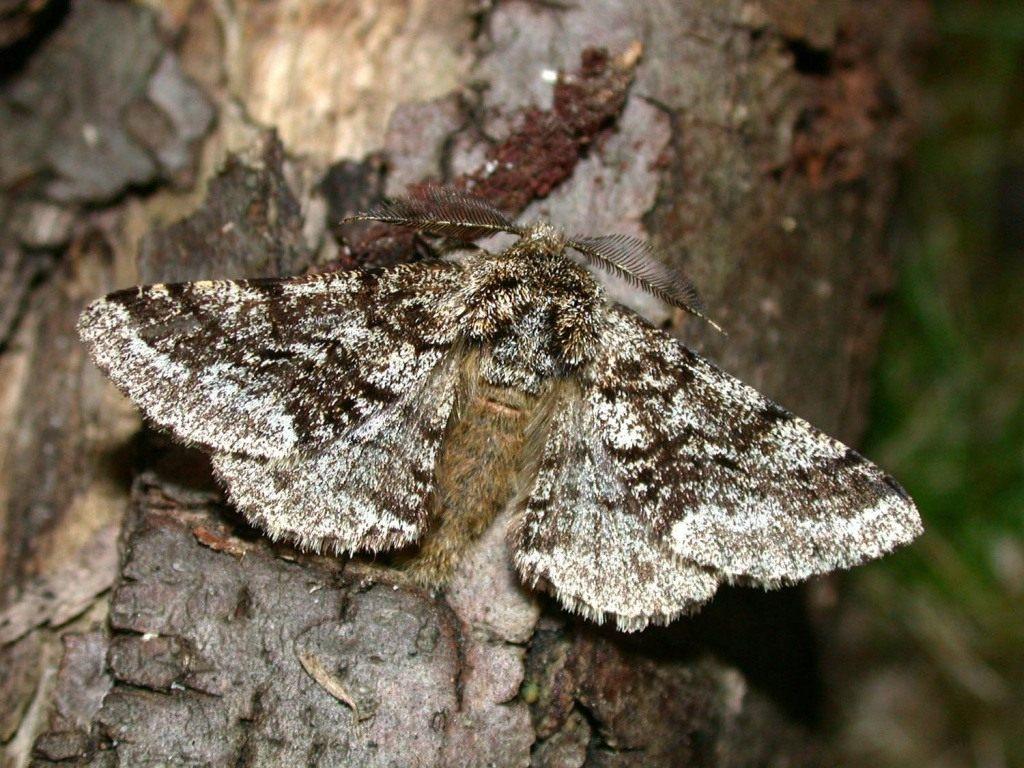 Гусеницы землемеры: описание их внешнего вида с фото, вред наносимый детьми бабочек пядениц