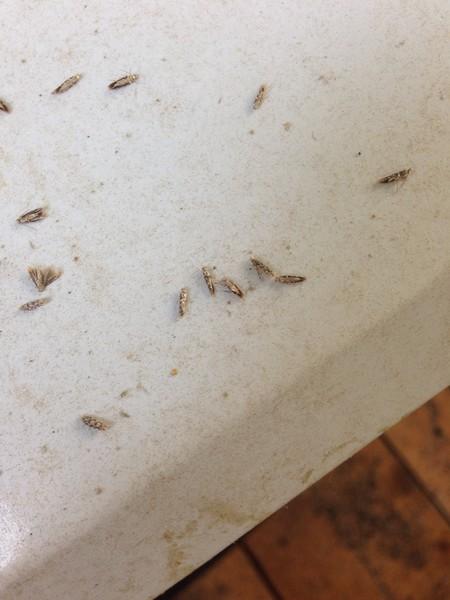 Как избавиться от мошек в квартире на кухне и доме