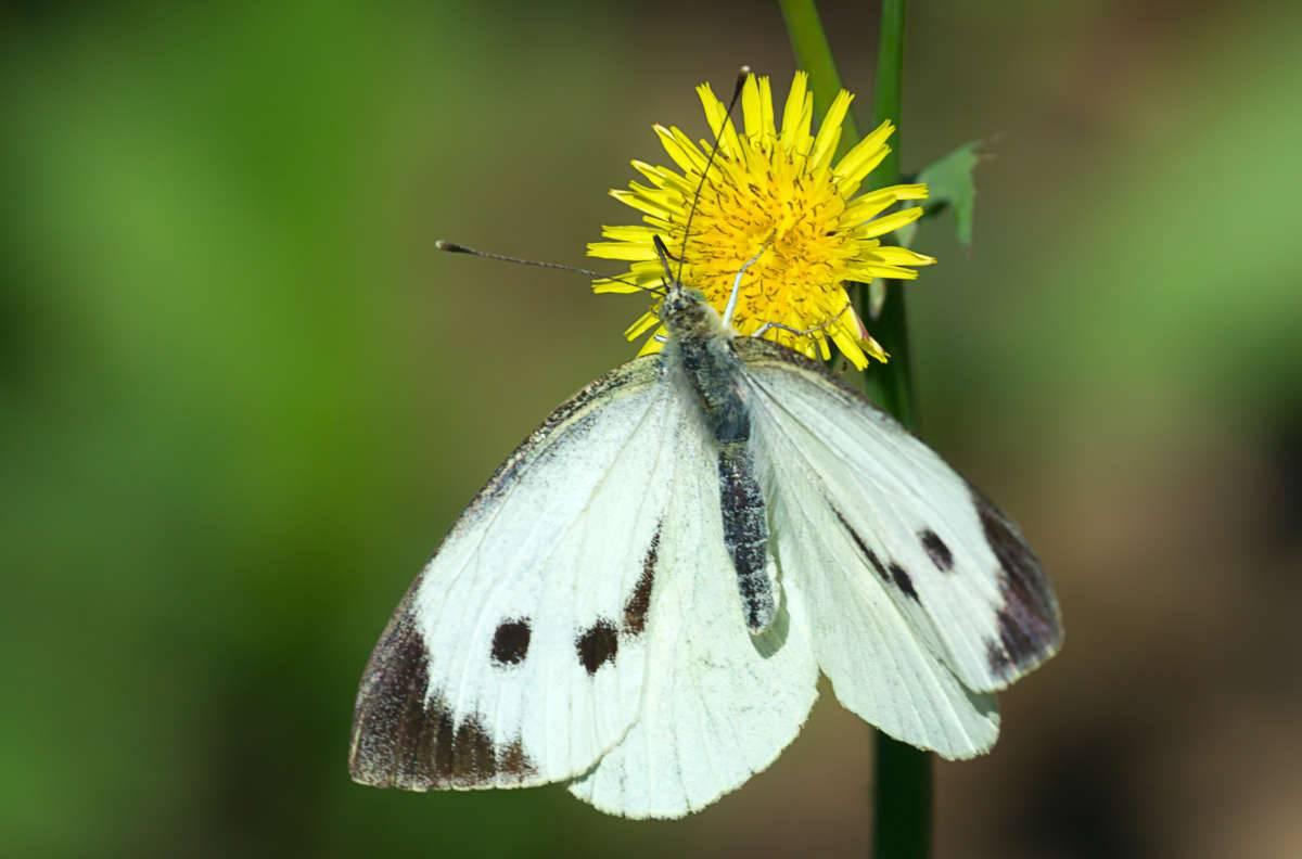 Капустница (бабочка) — википедия