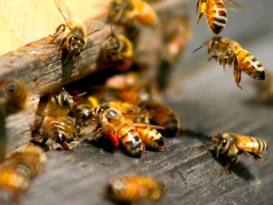 Вымирание пчёл — почему эта проблема важна