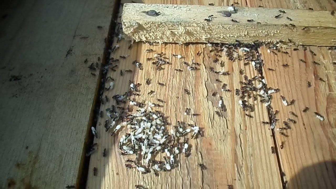 Как избавиться от муравьёв на пасеке народными средствами и химикатами