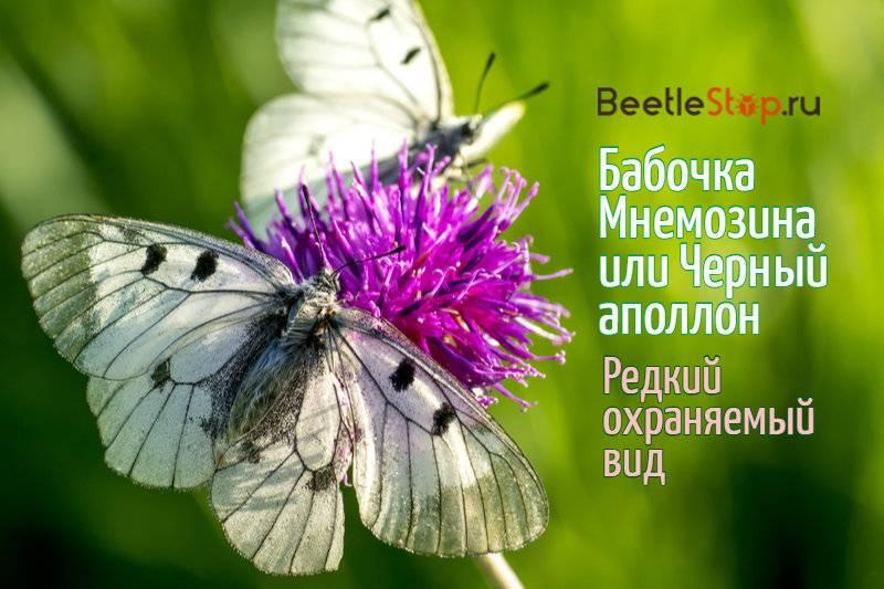 Бабочка лимонница: виды, фото и описание, образ жизни и среда обитания