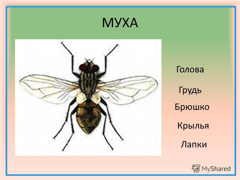 Строение мухи, её вес, количество лап и прочее