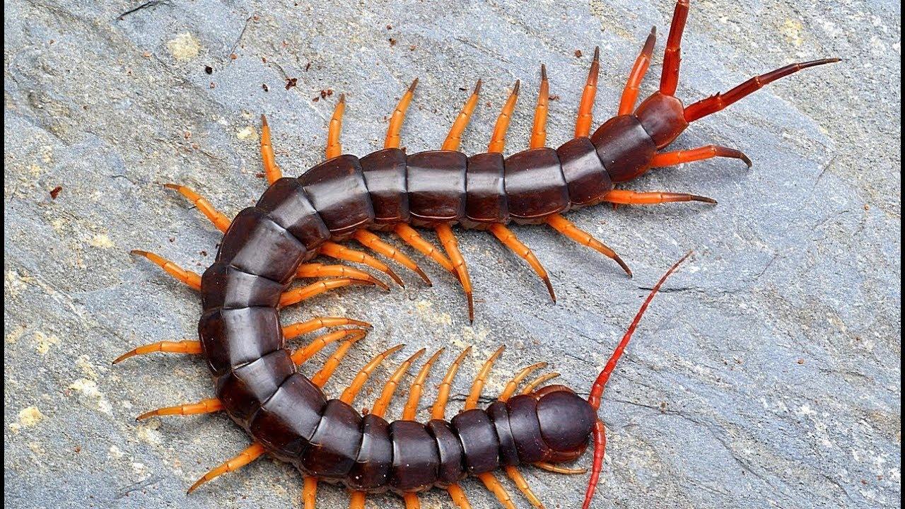 Многоножки насекомые