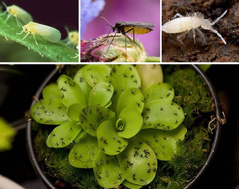 Мошки на рассаде - как избавиться от мошек в домашних условиях