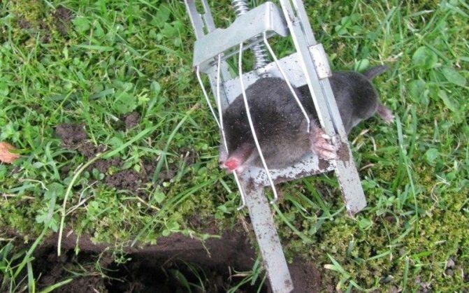 Как избавиться от земляной крысы?