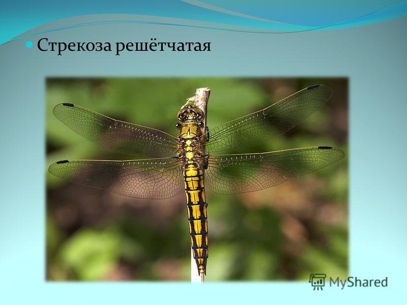 Стрекоза решетчатая, или стрекоза голубая | мир животных и растений