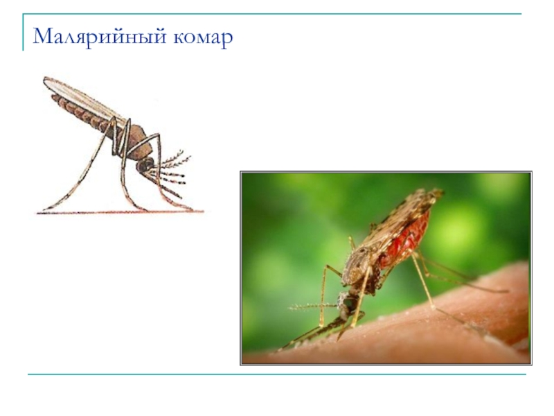 Виды комаров с фото и названиями: описание и особенности
