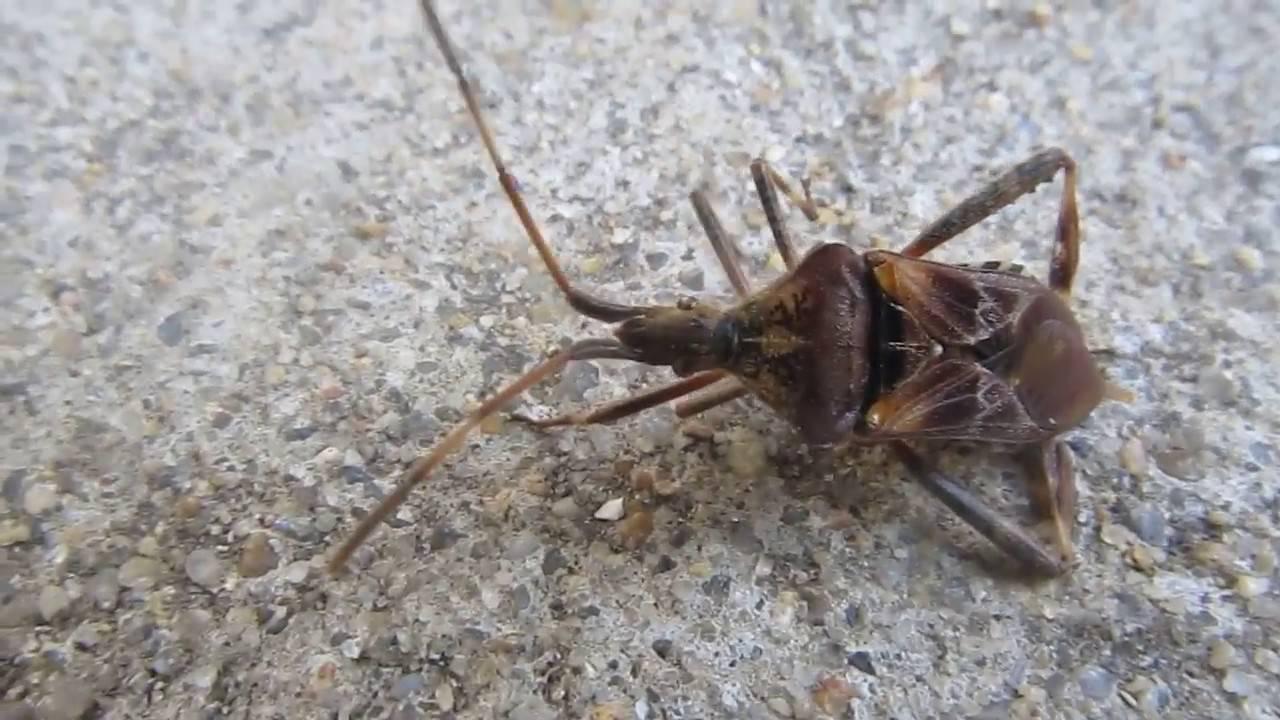 Триатомовые клопы – одни из самых опасных насекомых в мире