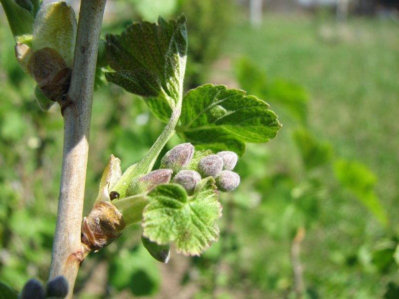 Почковый клещ на смородине: как бороться весной и осенью, меры профилактики + фото