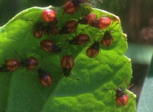 Как бороться с тлей на малине на разных этапах вегетации?