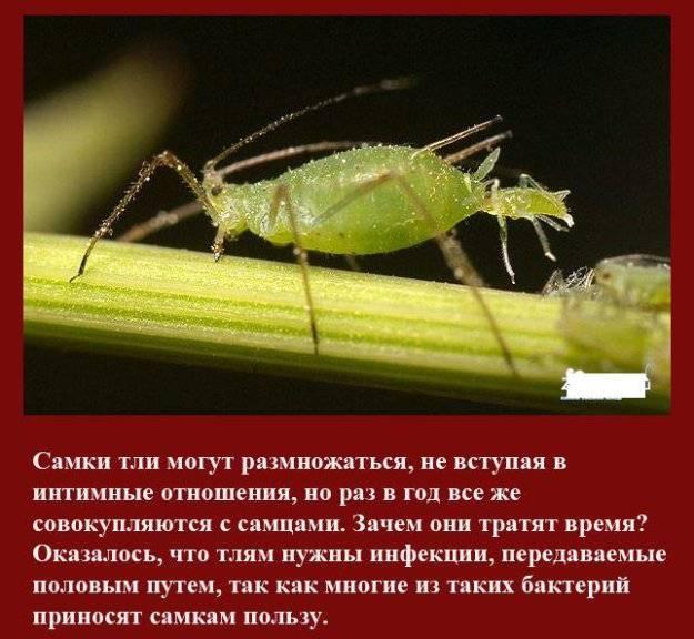 Тля на растениях: как выглядит и как появляется. чем опасно это насекомое