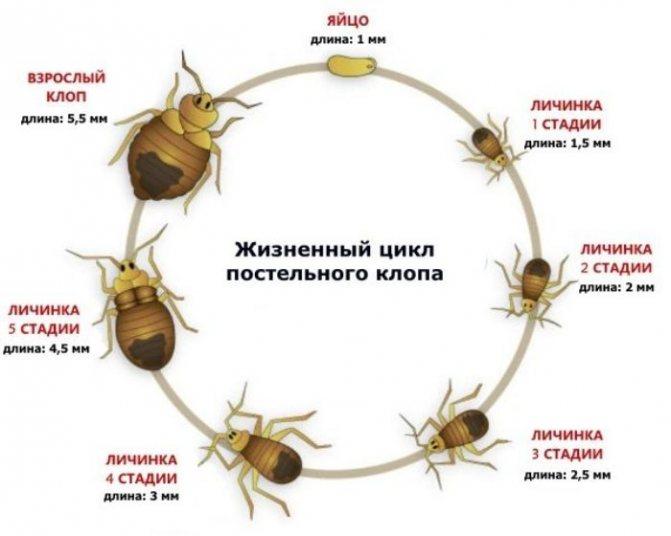 Сколько живут тараканы: продолжительность и цикл жизни тараканов, описание, видео, фото