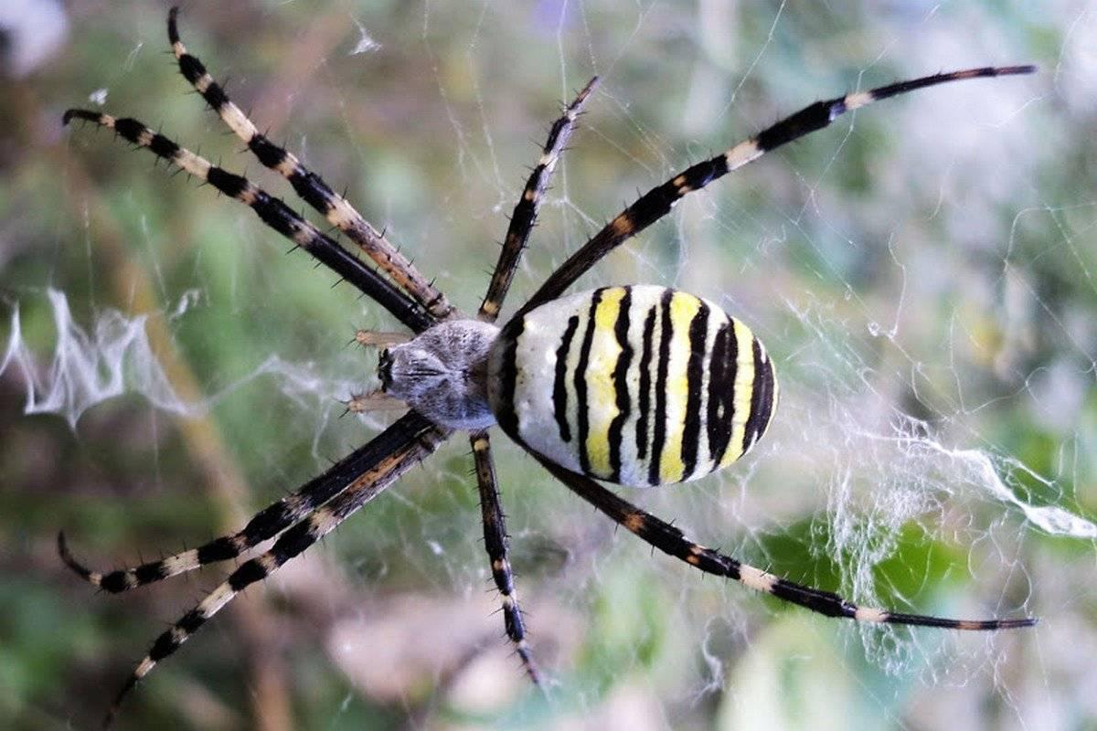 Что представляет собой паук аргиопа?