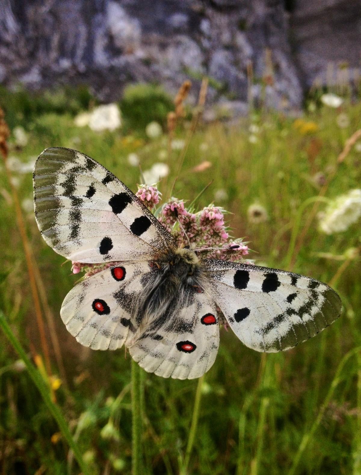 Бабочка аполлон (parnassius apollo): краткое описание, чем питается, интересные факты