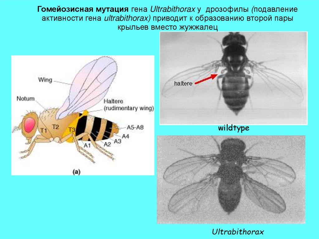 Откуда берутся мухи дрозофилы и как их вывести?