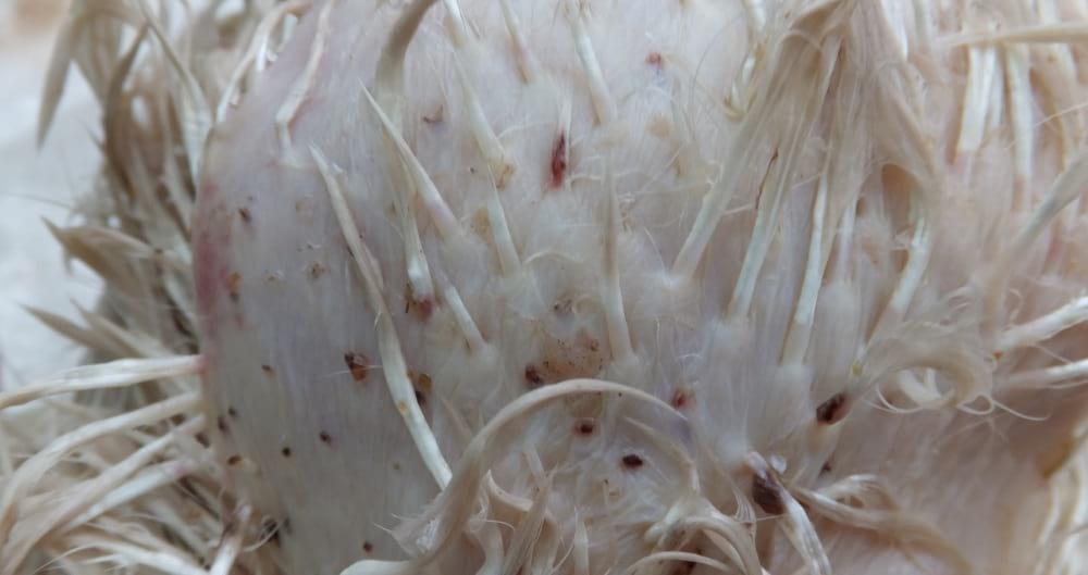 Пухоеды и пероеды у кур - как избавиться от пухопероеда?