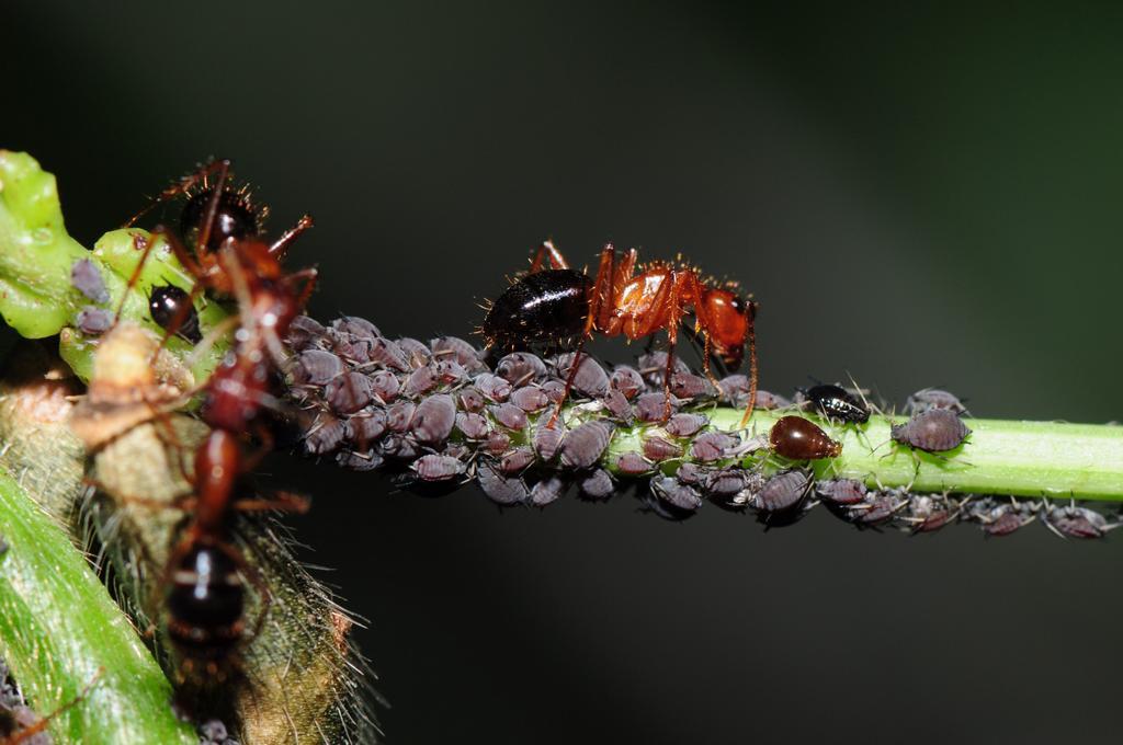 10 способов, как избавиться от муравьев и тли в саду и на даче