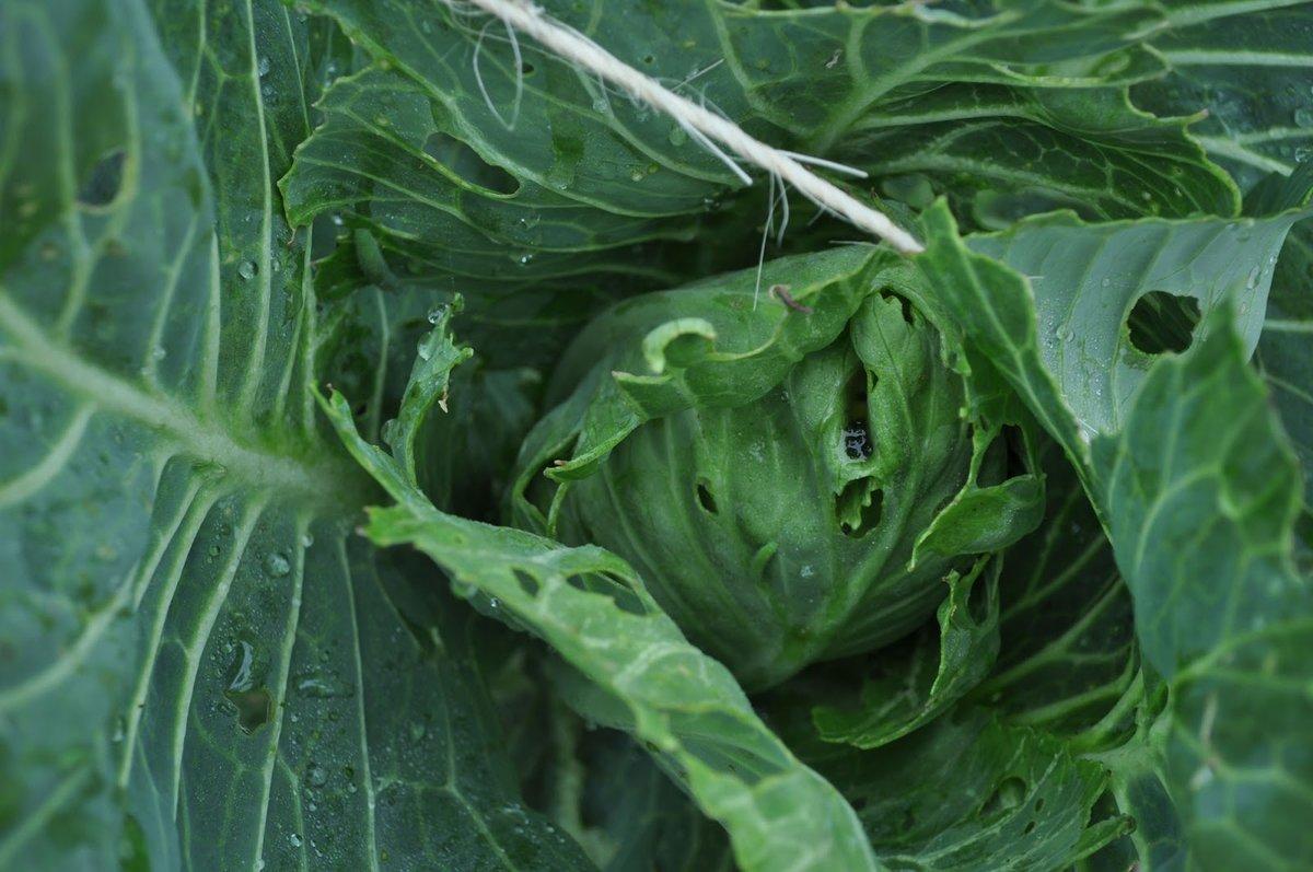 Основные вредители капусты и как с ними правильно бороться