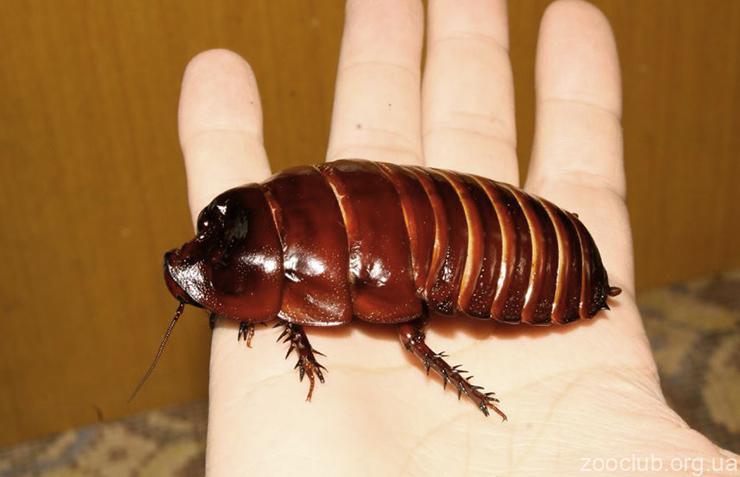 Самый большой таракан в мире: фото
